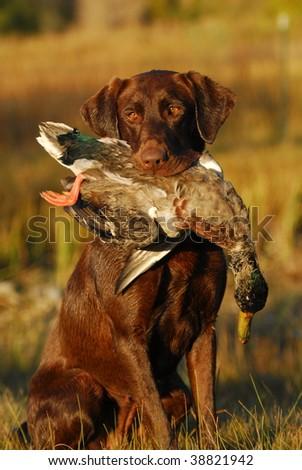 Hunting Chocolate Labrador Retriever - stock photo