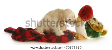 hunting dog - adorable cocker spaniel puppy chewing stuffed duck on white background - stock photo