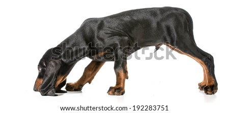 hunting dog - black and tan coonhound sniffing the ground on white background - stock photo
