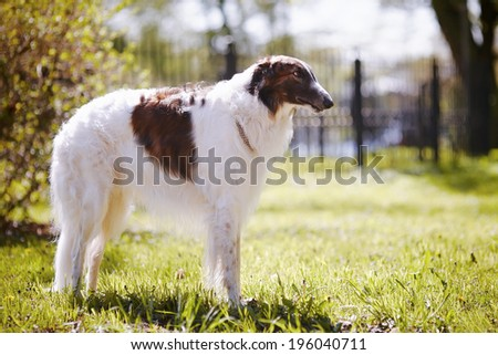 Hunting dog. Borzoi. White dog with spots. Dog for hunting.