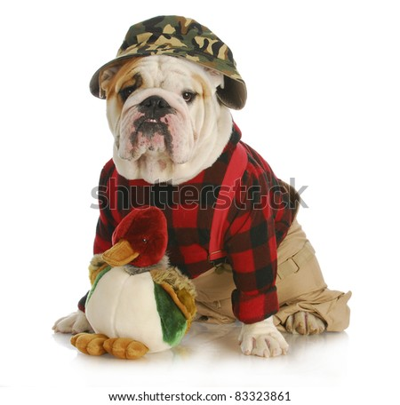 hunting dog - english bulldog dressed up like a hunter on white background - stock photo