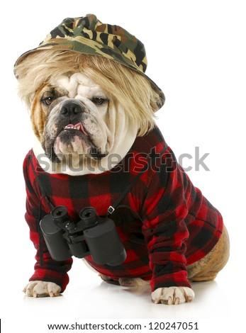 hunting dog - english bulldog dressed up like a redneck hunter with binoculars - stock photo