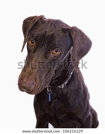 Hunting dog head shot big golden eyes isolated on white background
