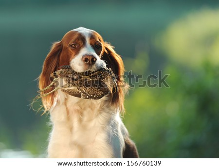 hunting dog holding in teeth a sandpiper, outdoors, horizontal - stock photo