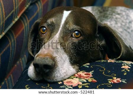 Hunting Dog II - stock photo