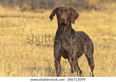 hunting dog in front,Pointer hunting for gray partridge - stock photo