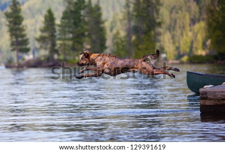 Hunting dog leaping from a dock in pursuit - stock photo