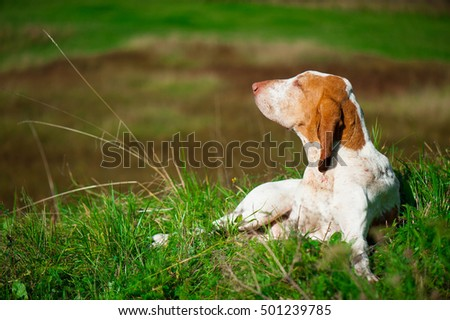 Hunting dog on green meadow