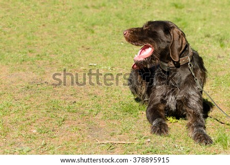 hunting dog on the nature of the spring - stock photo