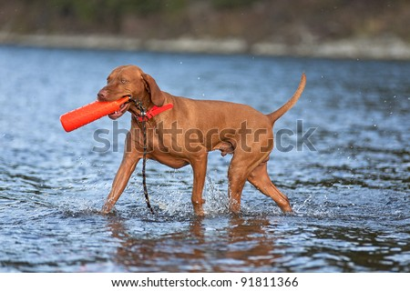 hunting dog retrieving dummy from water - stock photo