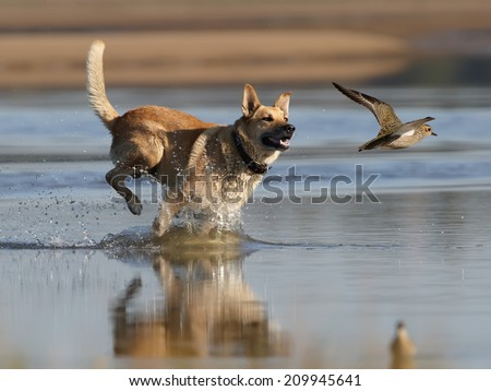 Hunting dog running for rise golden plover - stock photo