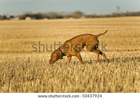 hunting dog searching in field