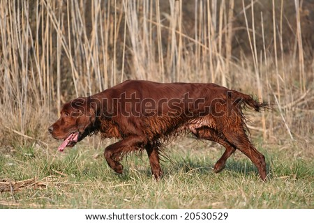 Hunting dog sniffing in the field - stock photo