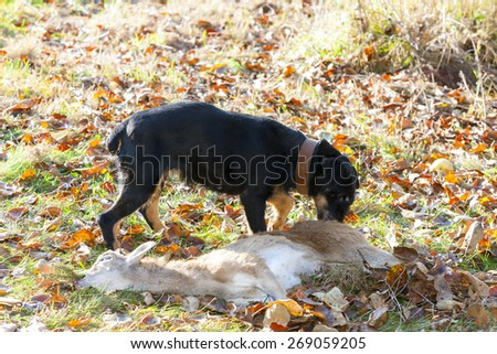 hunting dog with a catch - stock photo