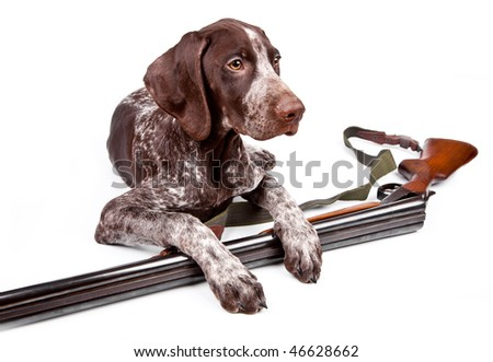 Hunting dog with a gun on a white background - stock photo