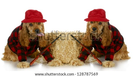 hunting dogs - two american cocker spaniels dressed up in plaid shirts with hunting guns isolated on white background - stock photo
