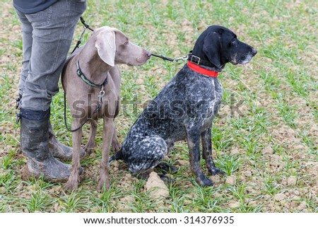 hunting dogs with hunter - stock photo