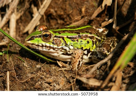 Hunting frog in the grass. - stock photo