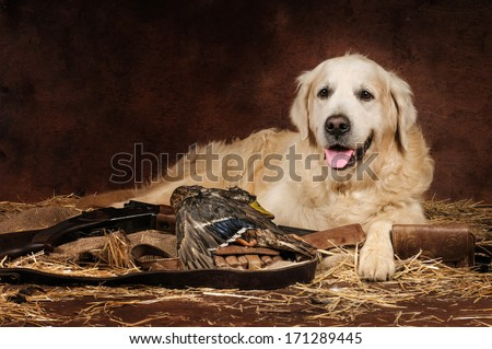 Hunting golden retriever with a gun - stock photo