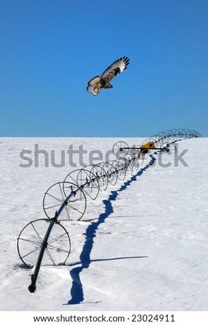 Hunting Hawk - stock photo