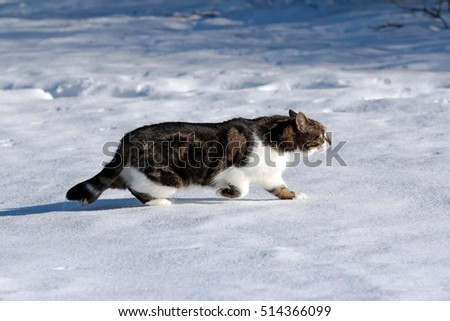 Hunting in winter. A cat sneaks up