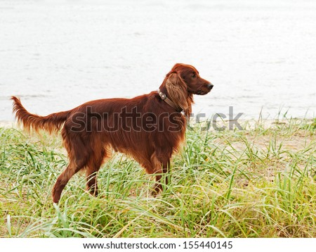 Hunting irish setter standing in the grass. Autumn hunting. - stock photo