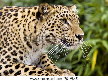 Hunting Leopard - stock photo