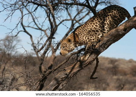 Hunting Leopard in a Tree - stock photo