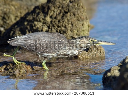 Hunting Mangrove Heron on Red Sea coral reef in Sharm el-Sheikh, - stock photo