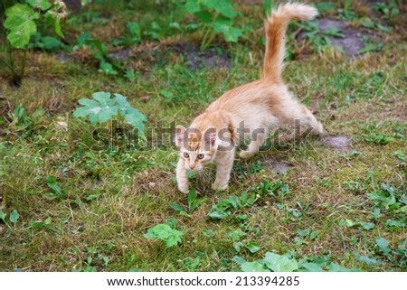 Hunting red cat among a grass - stock photo