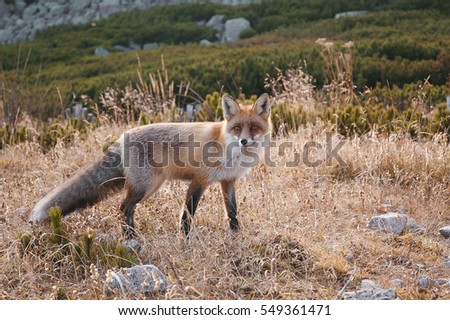 Hunting red fox looking at camera outdoor