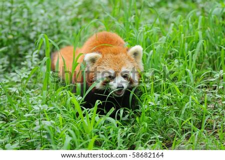 Hunting red panda - stock photo