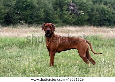 hunting rhodesian ridgeback - stock photo