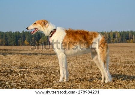 Hunting russian wolfhounds standing on a autumn field - stock photo