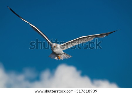 Hunting seagull with large wingspread flies in the blue sky and looks in camera - stock photo