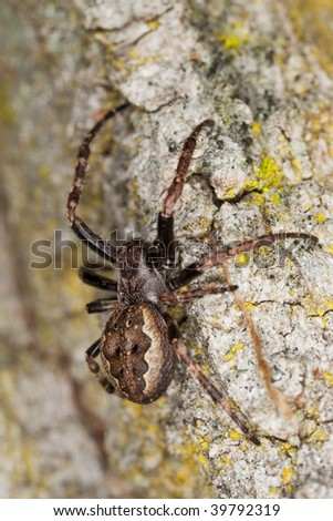 Hunting spider on wood