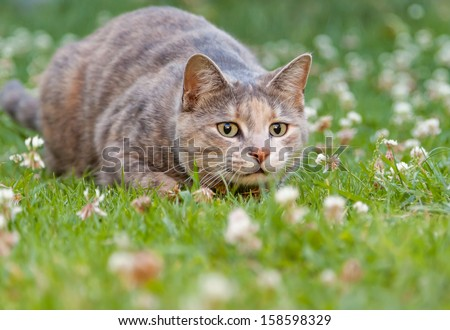 Hunting tortoiseshell-tabby cat alert, wide-eyed and ready to pounce - stock photo