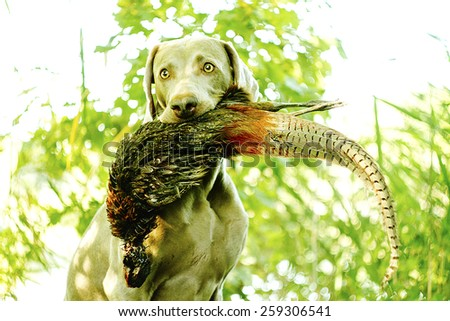 hunting weimaraner dog holding pheasant - stock photo