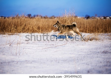 hunting with dogskin at winter time in a meadow - stock photo