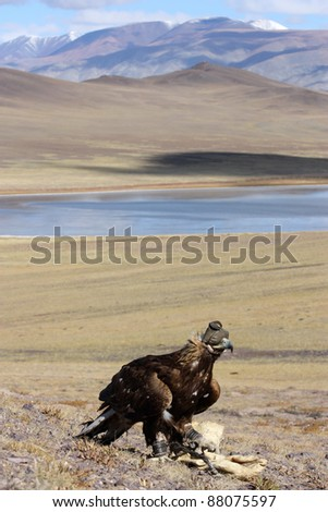hunting with golden eagle in mongolian desert. - stock photo