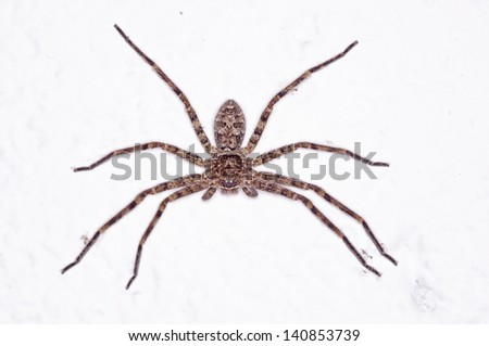 Huntsman spider is staying on the white wall - stock photo