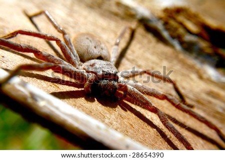 Huntsman spider native to Australia - stock photo