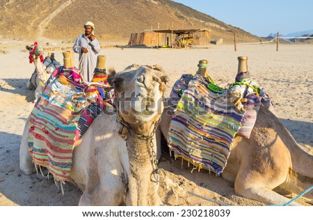 HURGHADA, EGYPT - OCTOBER 5, 2014: The camel curiously studying tourists, that want to ride on it, on October 5 in Hurghada.