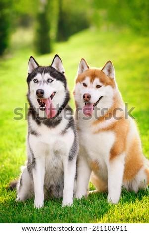 Huskies couple on nature - stock photo