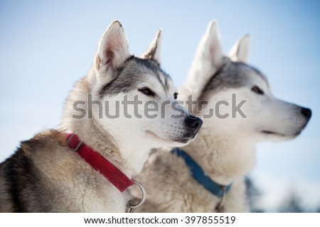 Huskies spending time outdoors in Lapland Finland - stock photo