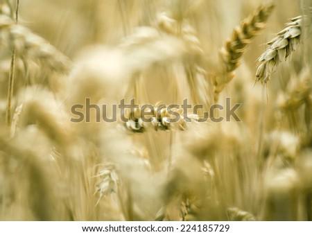 Husks of wheat - stock photo