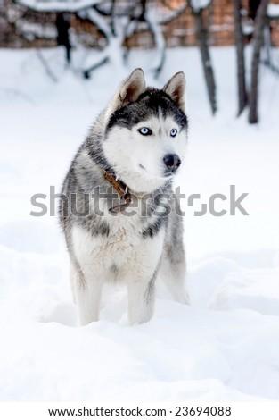 husky - stock photo