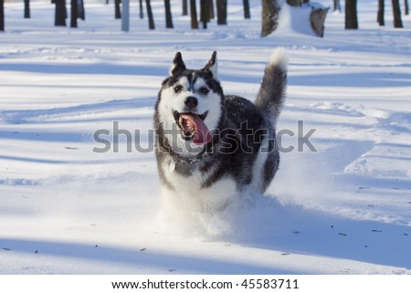 husky - stock photo