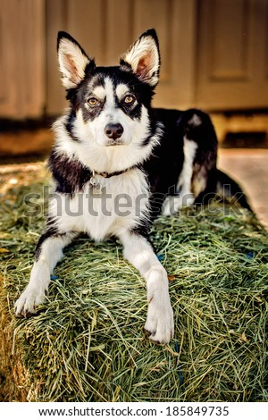 Husky/Border Collie Mix Dog - stock photo