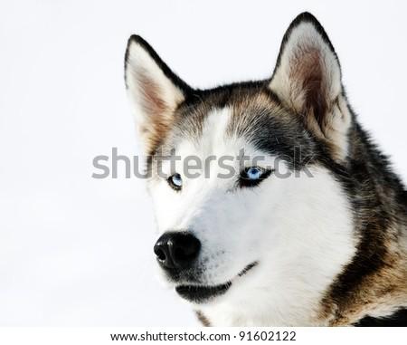 Husky Cub portrait - stock photo